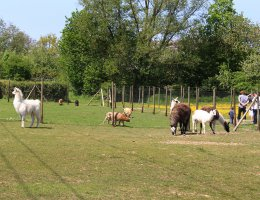 Unsere Tiere » Lamas